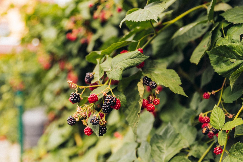 černice zo záhrady